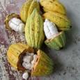 Wie wird aus den Kakaobohnen köstliche, feinschmelzende Schokolade? ...