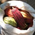 Es werden 4 Grund-Kakaosorten unterschieden: Criollo, Forastero, Nacional, Trinitario ...